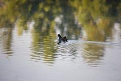 Pulcino della gallinella d'acqua, anatra selvatica con le nuotate rosse del becco di un chloorpus del Gallinula sullo stagno nel  immagini stock