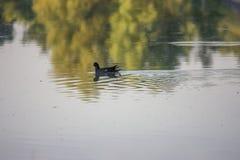 Pulcino della gallinella d'acqua, anatra selvatica con le nuotate rosse del becco di un chloorpus del Gallinula sullo stagno nel  fotografia stock libera da diritti