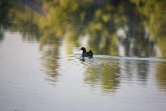 Pulcino della gallinella d'acqua, anatra selvatica con le nuotate rosse del becco di un chloorpus del Gallinula sullo stagno nel  immagine stock libera da diritti