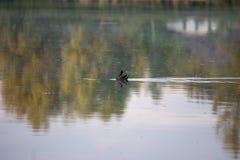 Pulcino della gallinella d'acqua, anatra selvatica con le nuotate rosse del becco di un chloorpus del Gallinula sullo stagno nel  immagine stock