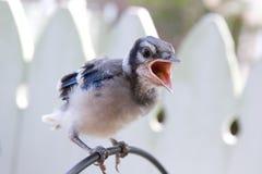 Pulcino della ghiandaia azzurra americana sulla rete fissa Fotografie Stock Libere da Diritti