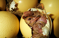 Pulcino dello struzzo che esce dall'uovo Fotografia Stock