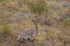 Pulcino dello struzzo che si nasconde nelle erbe della prateria sudafricana fotografia stock