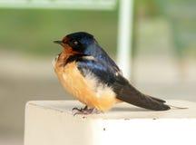 Pulcino dello Swallow in primavera. fotografia stock