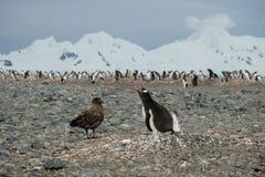 Pulcino di difesa del pinguino del pinguino dell'Antartide Gentoo dallo stercorario immagini stock libere da diritti