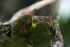 Pulcino di japonicas di Zosterops Fotografie Stock Libere da Diritti