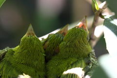 Pulcino di japonicas di Zosterops Fotografia Stock