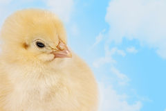 Pulcino di Pasqua nelle nuvole Fotografia Stock Libera da Diritti