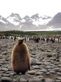 Pulcino di re Penguin Fotografia Stock