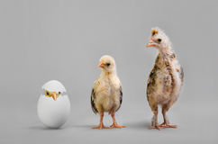 Pulcino ed uovo Fotografie Stock