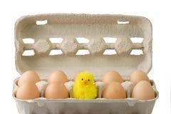 Pulcino fra le uova marroni Fotografia Stock