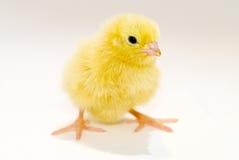 Pulcino giallo del bambino Fotografia Stock Libera da Diritti