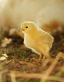 Pulcino giallo neonato del bambino alla luce di pomeriggio Fotografia Stock