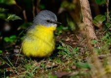 Pulcino giallo orientale del pettirosso Fotografia Stock Libera da Diritti