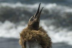 Pulcino lanuginoso del pinguino di re fotografia stock