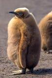 Pulcino lanuginoso del pinguino di re (patagonicus dell'aptenodytes) Fotografie Stock Libere da Diritti
