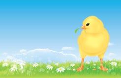 Pulcino libero dell'intervallo di Pasqua sul prato della sorgente Fotografie Stock