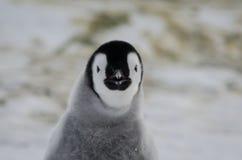 Pulcino loooking diabolico del pinguino di imperatore Fotografie Stock Libere da Diritti