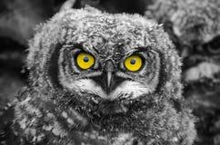 Pulcino macchiato di Eagle Owl Fotografia Stock Libera da Diritti