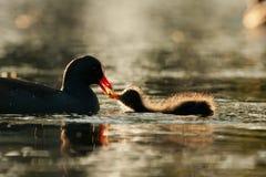 Pulcino oscuro della gallinella d'acqua Fotografia Stock Libera da Diritti