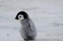 Pulcino solo del pinguino di imperatore Fotografia Stock