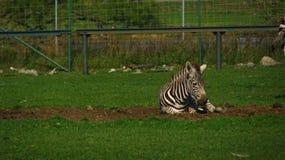 Puledri africani della zebra che giocano nel campo Fotografia Stock Libera da Diritti