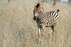 Puledri della zebra di Burchells (burchellii della quagga di equus) Immagine Stock