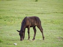 Puledro che mangia erba Fotografie Stock Libere da Diritti