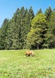 Puledro che pasce nelle foreste Immagini Stock