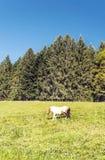 Puledro che pasce nelle foreste Fotografia Stock