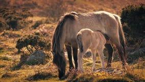 Puledro d'alimentazione del cavallo della madre nel pomeriggio archivi video