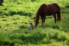 Puledro del bambino con la madre in paster verde Fotografia Stock