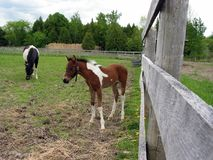 Puledro del cavallino Fotografia Stock