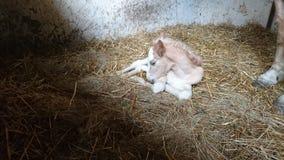 Puledro del cavallino Fotografia Stock Libera da Diritti