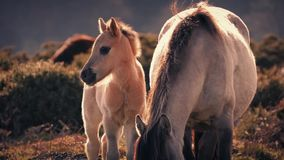 Puledro del cavallo accanto alla madre al tramonto video d archivio