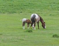 Puledro del cavallo di Appaloose con la giumenta Immagine Stock Libera da Diritti
