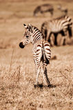 Puledro della zebra Immagine Stock Libera da Diritti