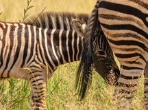 Puledro della zebra che si nasconde dietro la coda della diga fotografia stock libera da diritti