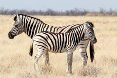 Puledro della zebra con la madre in cespuglio africano Fotografie Stock