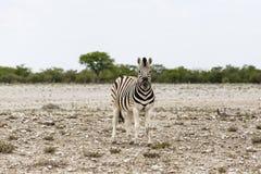 Puledro della zebra delle pianure, parco nazionale di Etosha, Namibia Fotografia Stock Libera da Diritti