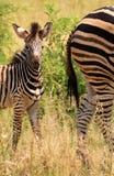 Puledro della zebra dietro la sua diga fotografie stock libere da diritti