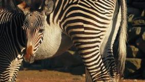 Puledro della zebra tramite sua madre archivi video