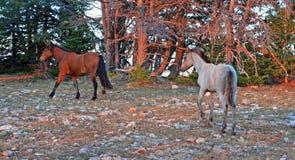 Puledro di Grulla con l'animale di un anno della baia su Tillett Ridge nella gamma del cavallo selvaggio di Pryor Mountians nel W Fotografia Stock Libera da Diritti