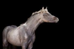 Puledro di un cavallino su fondo nero Fotografie Stock Libere da Diritti