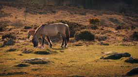 Puledro e madre del cavallo al tramonto stock footage