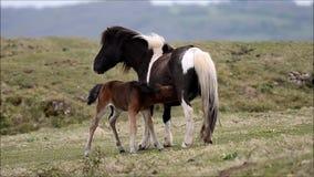 Puledro maschio del cavallino di Dartmoor che succhia dalla madre video d archivio