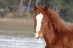 Puledro quarto del cavallo Immagini Stock Libere da Diritti