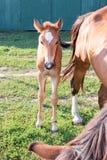 Puledro vicino alla madre del cavallo su erba verde all'azienda agricola Fotografia Stock