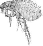 pulga Imagens de Stock