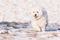 Puli dans la neige Photographie stock libre de droits